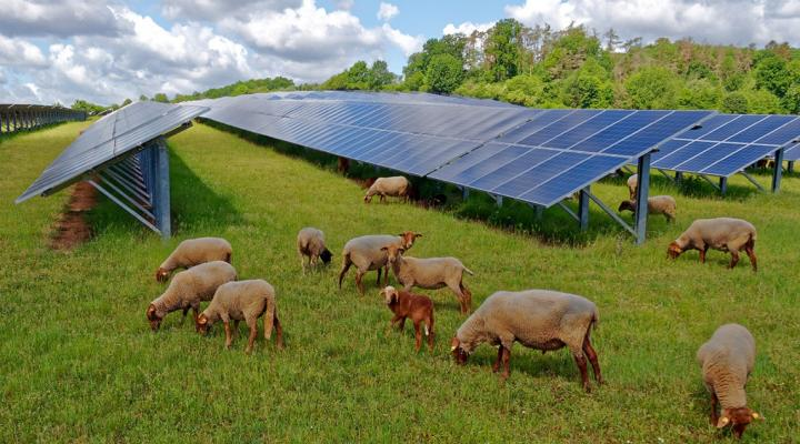 Tending to sheep on a solar farm is a good dual-use land option for creating green energy.